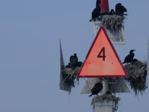 cape cod birds nesting