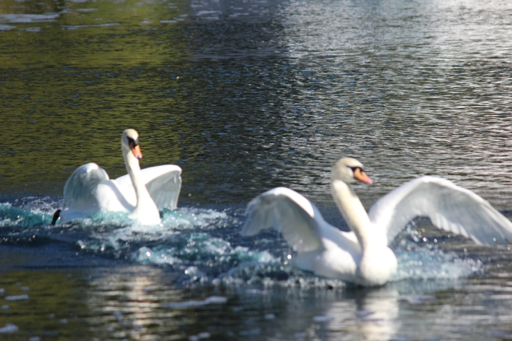 Ugly Duckling turns into a Swan who has many suitors.